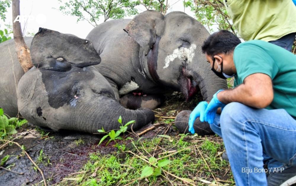 Hallan en India 18 elefantes muertos probablemente a causa de un rayo