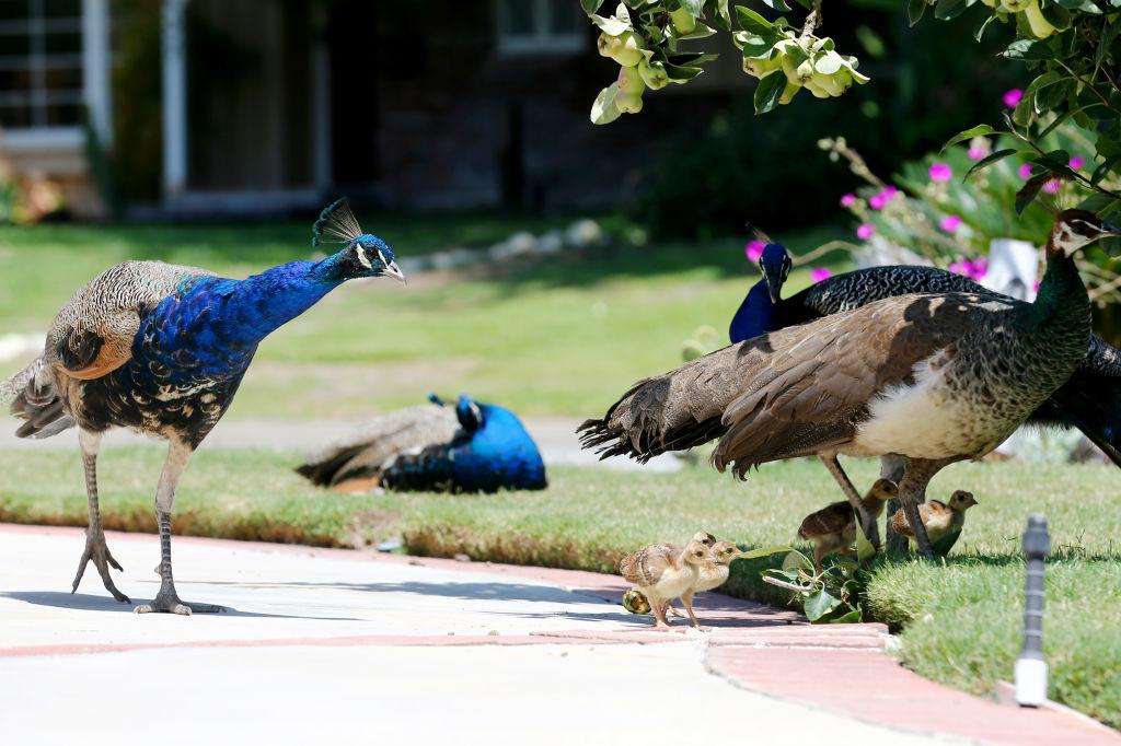 Los supervisores del condado de Los Ángeles consideran la prohibición de alimentar pavos reales salvajes