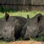 La caza furtiva de rinocerontes aumenta en Sudáfrica